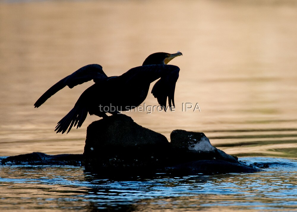Pot-Belly Cormorant by toby snelgrove  IPA