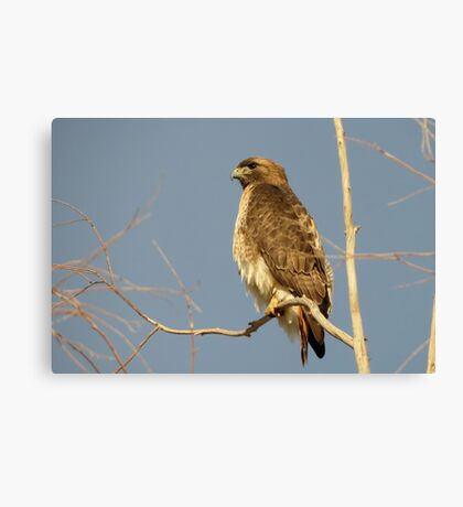 Red-tailed Hawk ~ Perch Perfect Canvas Print