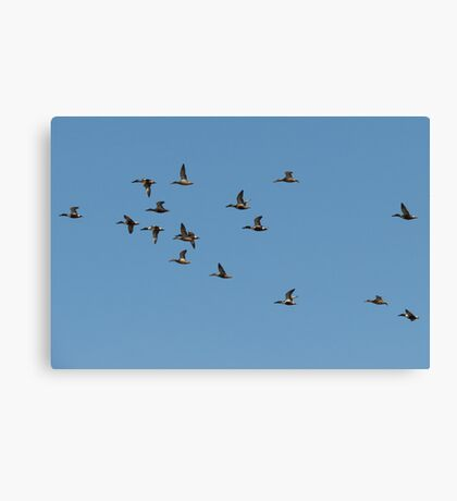 Northern Shovelers in Formation Canvas Print