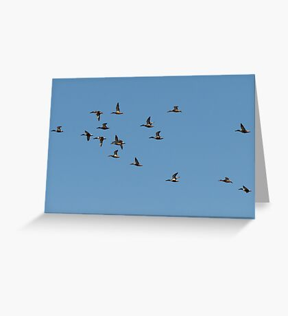 Northern Shovelers in Formation Greeting Card