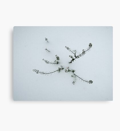 Not the Towering Oak Canvas Print