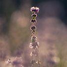 Purple by Sabaa