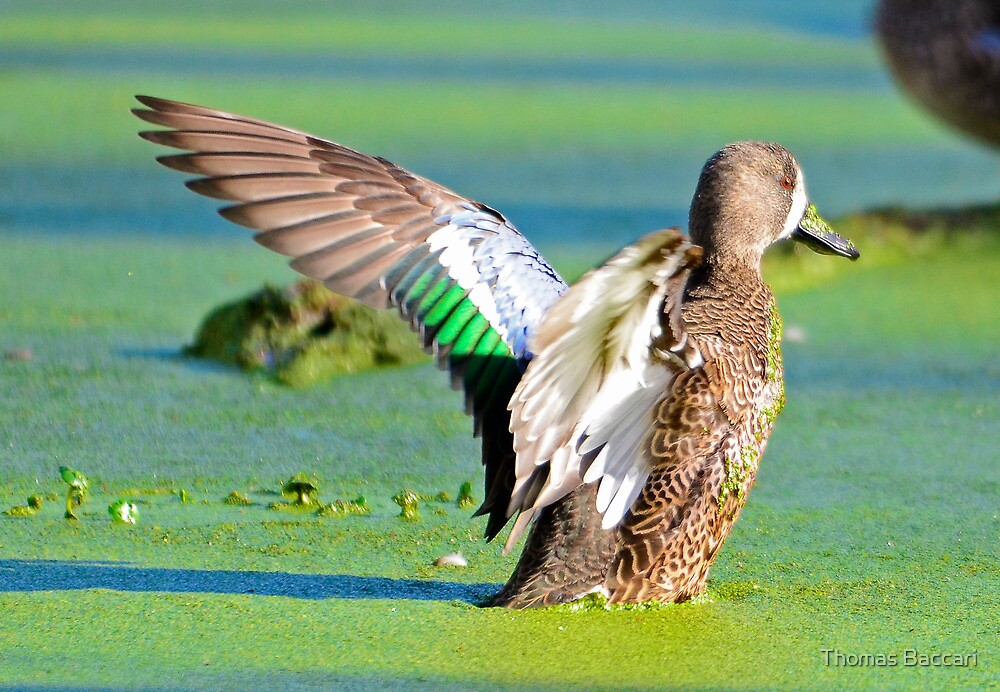BLUE WING TEAL by TJ Baccari Photography
