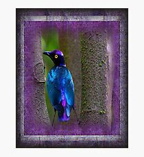 A beautiful Purple Glossy Starling Photographic Print