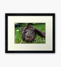 Chocolate Puppy Framed Print
