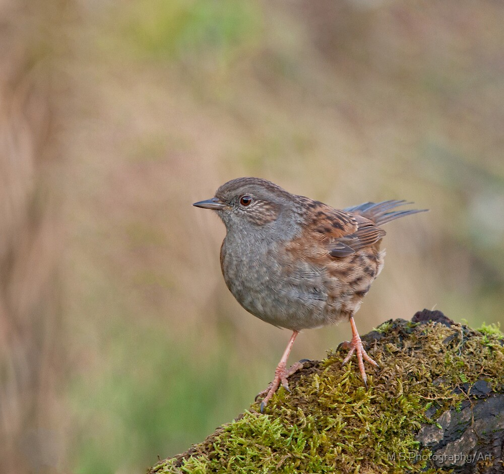 Dunnock by M S Photography/Art