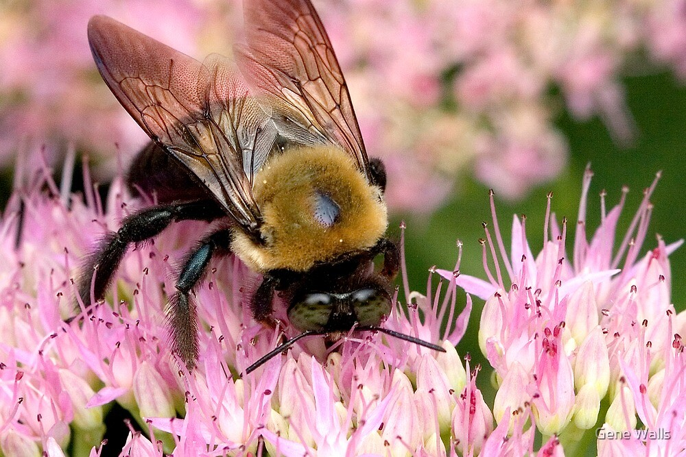 Stone Mountain Bumble Bee by Gene Walls
