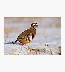 Red-legged partridge (Alectoris rufa), Scotland Photographic Print