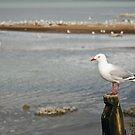 Seagull, Lake Rotorua by Dilshara Hill