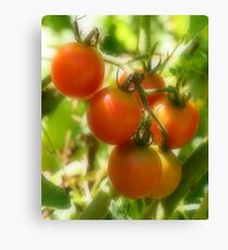 Red Cherry Tomatoes On The Vine Canvas Print