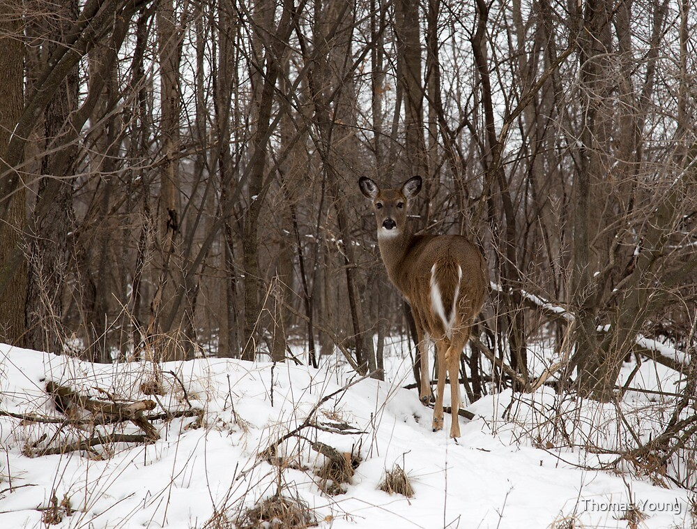 Whitetail In The Winter by Thomas Young
