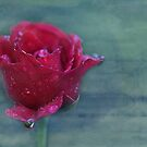 there is no such thing as an ordinary rose... by Tangerine-Tane