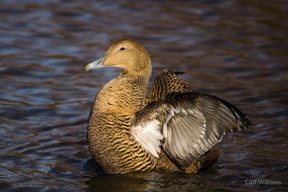 Female Eider Duck by Cliff Williams