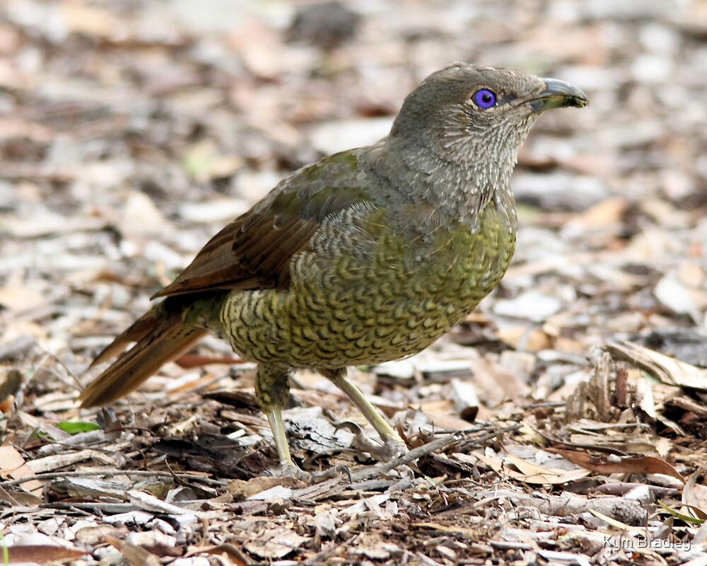 Baby Bower Bird by Kym Bradley
