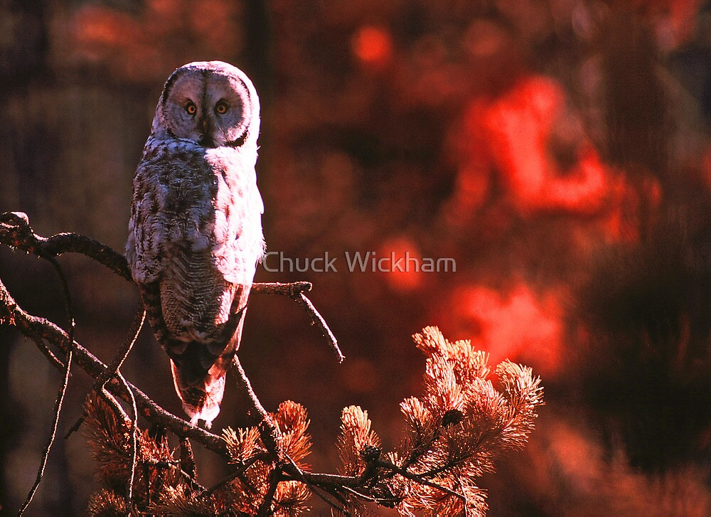 GREAT GREY OWL by Chuck Wickham