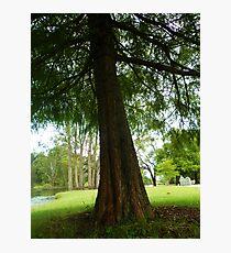Fig Tree Photographic Print