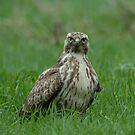 Common Buzzard - IV (Buteo buteo) by Peter Wiggerman