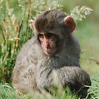 Baby Snow Monkey by Dorothy Thomson