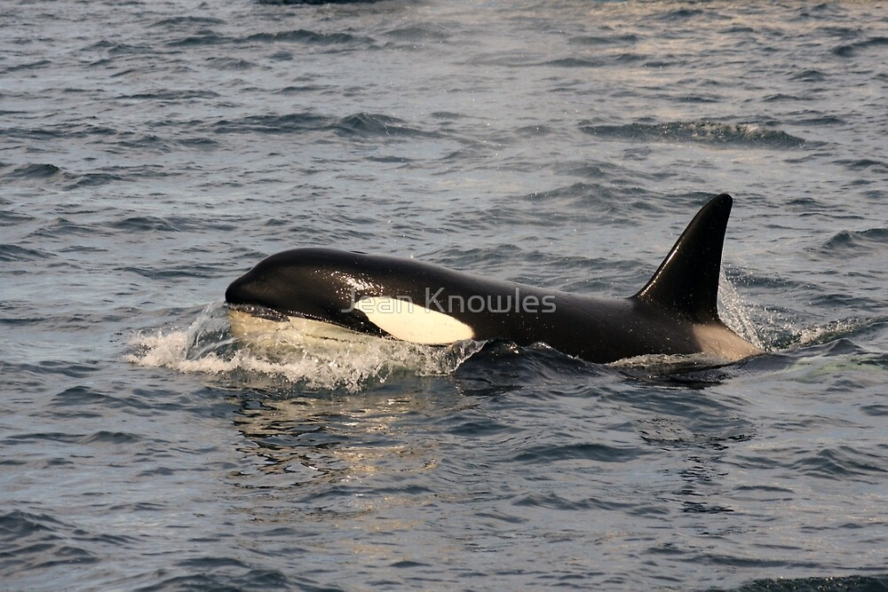 Orca by Jean Knowles