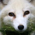Arctic Fox by Jean Knowles