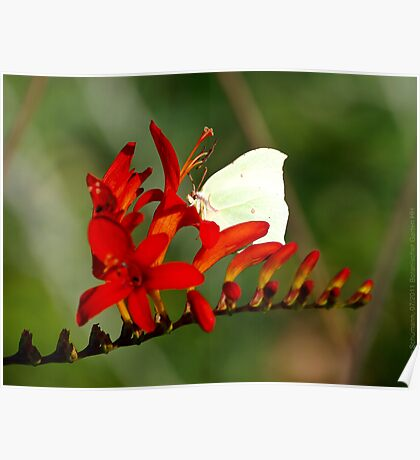 Brimstone on a Montbretia Panicle  VRS2 Poster