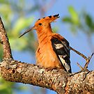 African hoopoe by Anthony Goldman