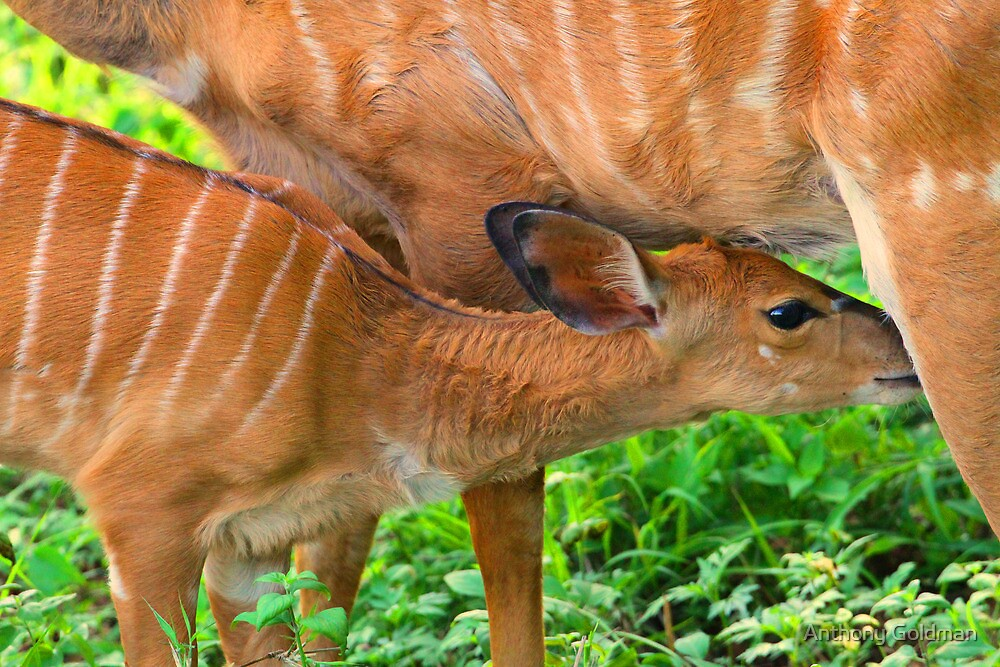 There is nothing like a mother`s milk! by Anthony Goldman