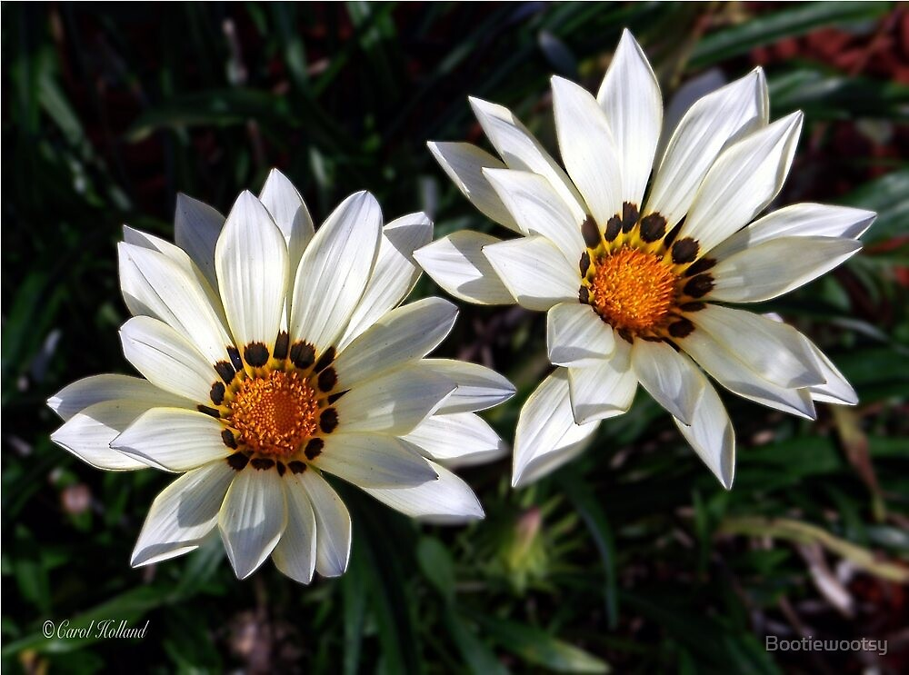 Winter White Blooms by Bootiewootsy