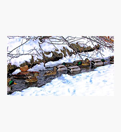 Getting My Ducks in a Row Photographic Print