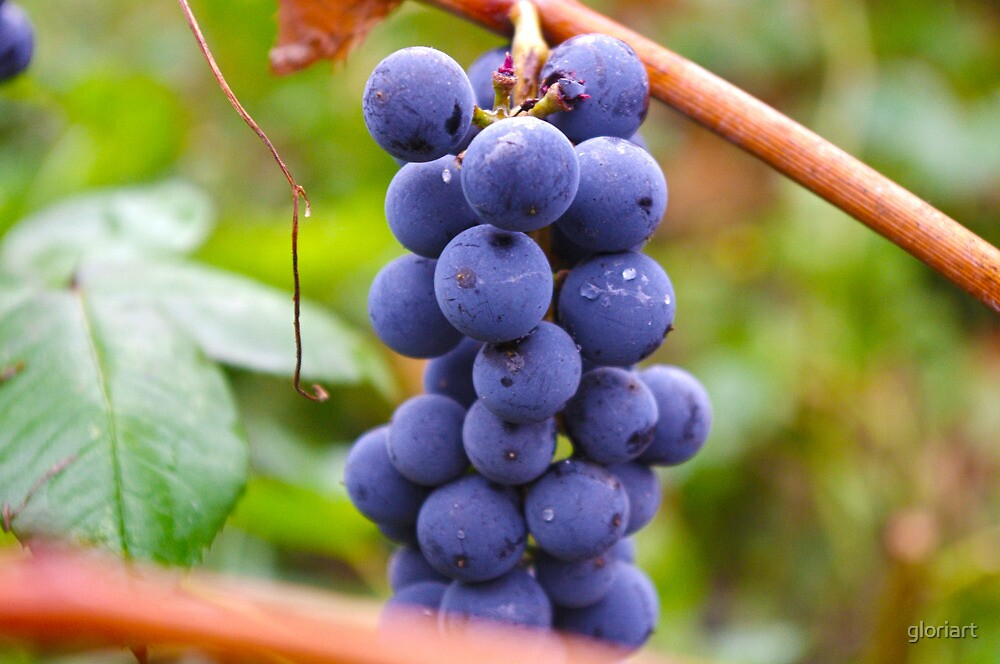 Ripe Grapes by gloriart