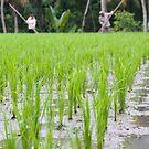 Rice Harvest by George Borovskis