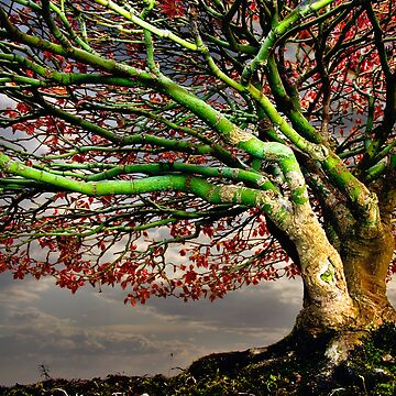 Maple by heatherbuckley