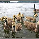 Canada Geese Family by Mikell Herrick