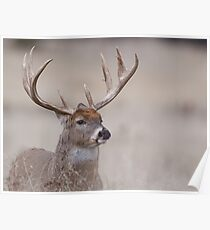 Whitetail Deer Portrait - very old buck Poster