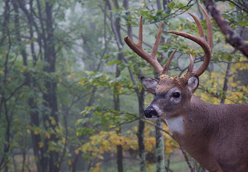 quotwhitetail buck deer portrait in deciduous forest habitat