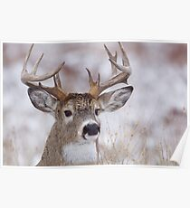 White-tailed Buck Deer with non-typical antlers, winter portrait Poster