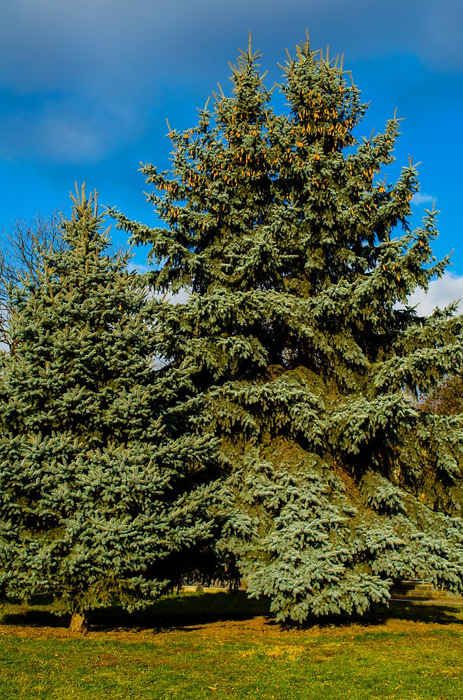 evergreen spruce by kikoste