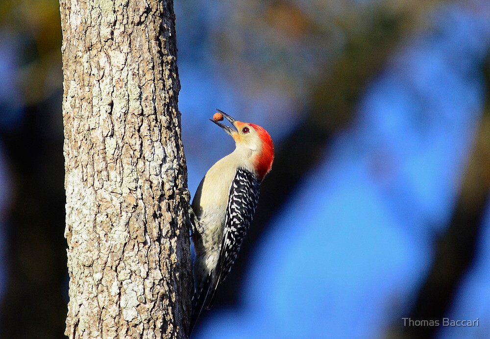 Hey Look What I Found (Woodpecker) by TJ Baccari Photography