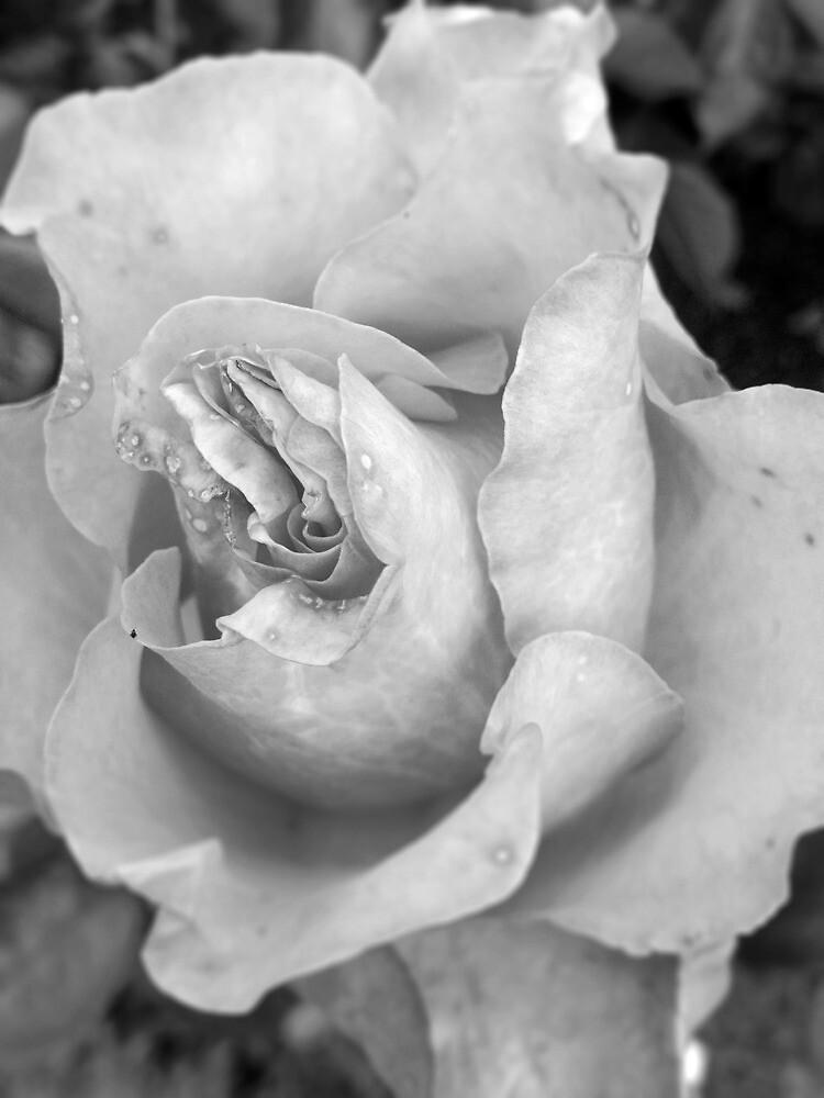 Rose Petals by Andrea  Muzzini