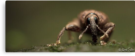 'A Weevils Swagger' by Kerrod Sulter