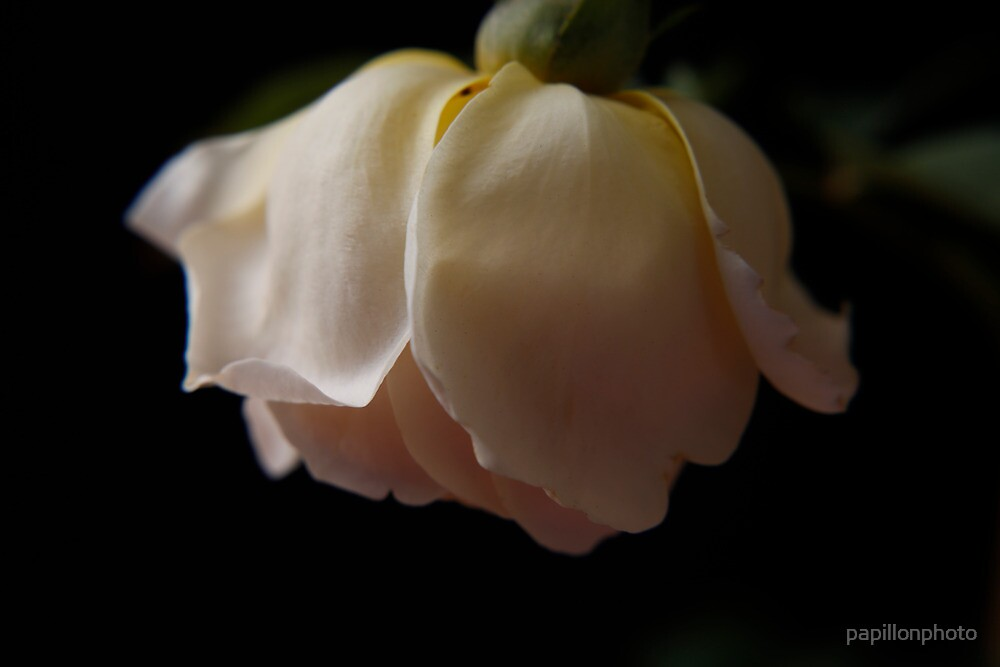 Sad Rose by papillonphoto