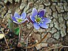 Hepatica Wildflower - Hepatica nobilis by MotherNature
