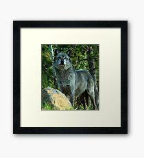Grey Wolf,  Yellowstone National Park, Wyoming, USA Framed Print