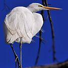 Great Egret 2013 by Dennis Stewart