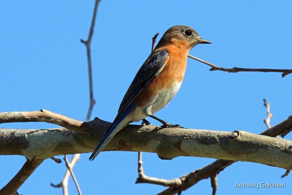 Eastern blue bird female by jozi1