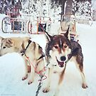 Huskies, Lapland by Tim Topping