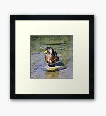 Duck on the stone Framed Print