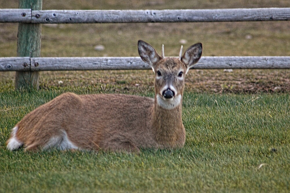 Young Buck Resting by lincolngraham