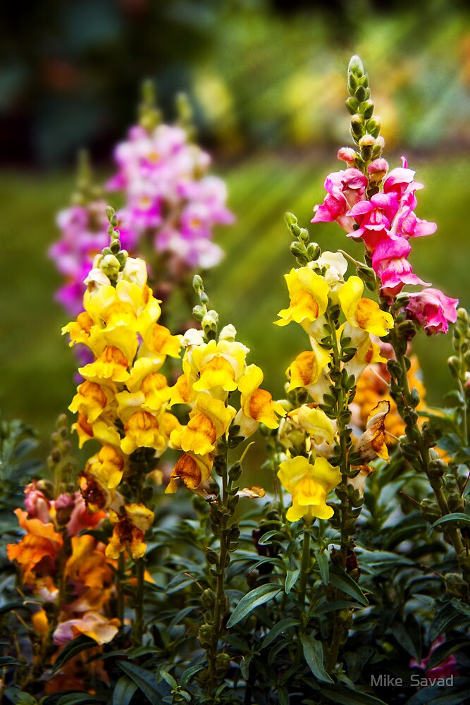 Flower - Antirrhinum - Grace by Michael Savad