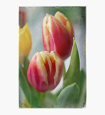 tulips . . . .  Photographic Print